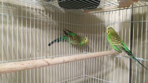 Budgies for sale BONDED PAIR