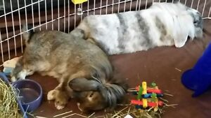 Bonded Male Bunnies Need Loving Home