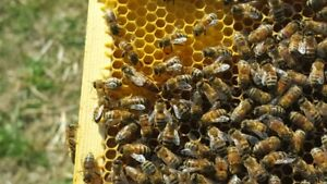 Honey Bee Nucs Available