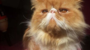 CCA Registered Purebred Male Persian  3 Years Old