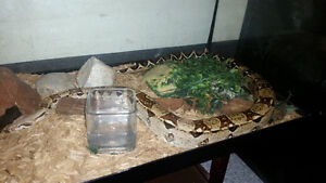 COLUMBIAN RED TAIL BOA and brand new large inclosure