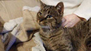 Found Male Tabby