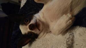 Chihuahua à vendre