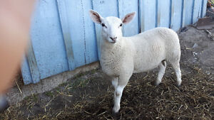 Ram lambs for sale!