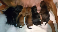 Miniature Pinschers puppies! ** one Red female available **