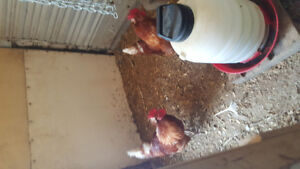 2 Ida red roosters