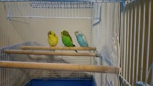 love birds for sell