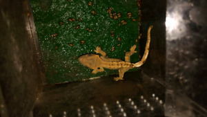 Harly babie crested gecko 50$ comes with food n keeper