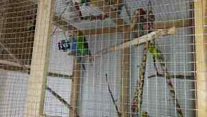 Selling  my  6  BUDGIES  WITH  THE  GAGE