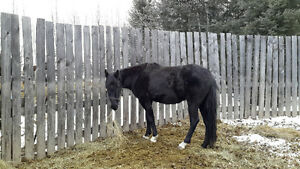 BROKE STANDARDBRED MARE price reduced to sell