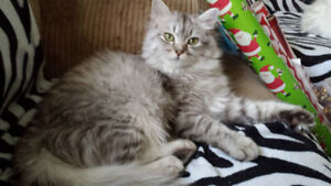 Persian Cross Cat looking for a good home