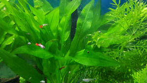 Endler x guppies free to loving home (pets only)