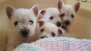 Adorable West Highland Terrier Puppies