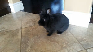 Small black bunny needs a new home