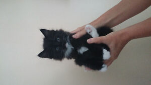 2 FREE kittens! Friendly + Affectionate