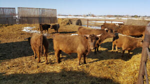Yearling Beef