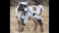 Looking for Pygmy Goat