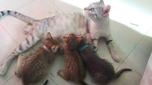 Perfect Christmas Gift - Bengal Kittens