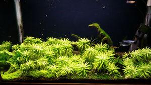 Plante aquarium vivante Pogostemon helferi