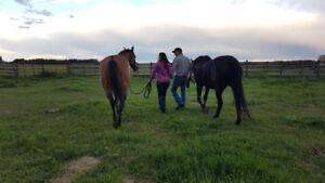 ISO: Well trained saddle horse
