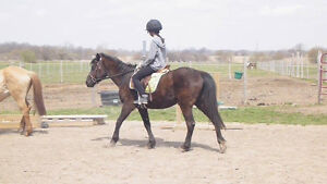 Large pony gelding available for part board
