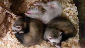 **Special Order: Ferrets and Hedgehogs** - Northern Exotics