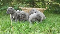 EUROPEAN BLUE GREAT DANE PUPPIES FOR SALE