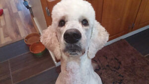 White/Cream Standard Poodle to Great Home