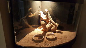 Adult bearded dragon with tank and stand