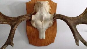 Moose skull/antlers