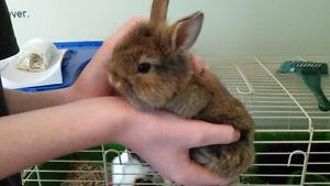 Baby bunnies 6 weeks old Cambridge Kitchener Area image 2