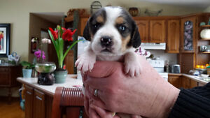 Tricolor BEAGLE Hound PUPPIES. 1 year health guarantee. Male/Fem