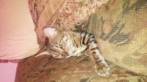 Pure bengal cat looking for new home