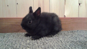A&B Netherland Dwarf Rabbitry