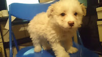 Adorable 9 Week Bichon-Poo Puppy boy needs forever home