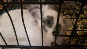Lionhead Bunny For Sale In Yorkton
