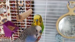 Male Budgies