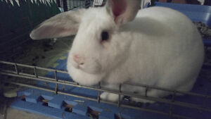 FREE TO GOOD HOME - white 1 year old new zealand/lop rabbit!