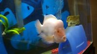 12 inch Red Devil, (Very cool fish). Jaguar Cichlid,