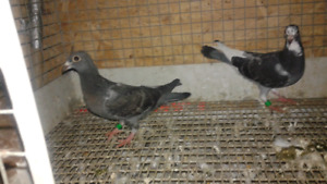 Homing pigeons for sale