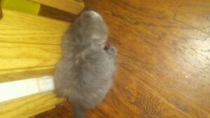 8 Week old grey female