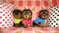 Tiny toy Yorkies for Sale