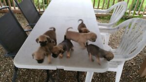 Cute Daug Puppies- For Sale.