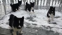 "Four ""Winter"" puppies  for sale"