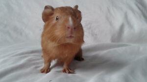 4 week old male guinea pig