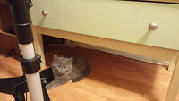 fluffy male kitten to good home