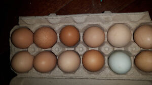 Fertile hatching  eggs  mystery chick's!