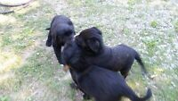 4 Beautiful Female Black Lab cross