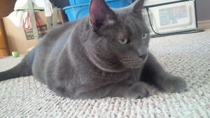 Russian Blue Cat - Free to good home