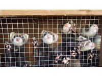 Ferrets for sale X 8 £50